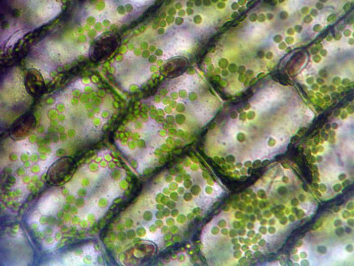 Строение и функция лейкопластов в клетке