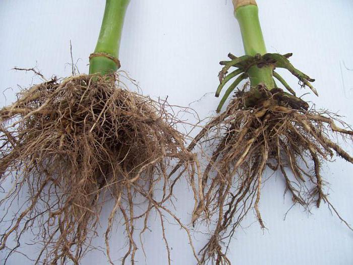 Какие растения имеют мочковатую корневую систему