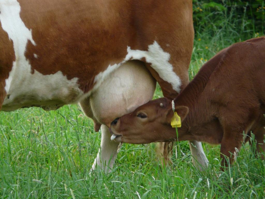 Что такое вымя? Виды молочных желез