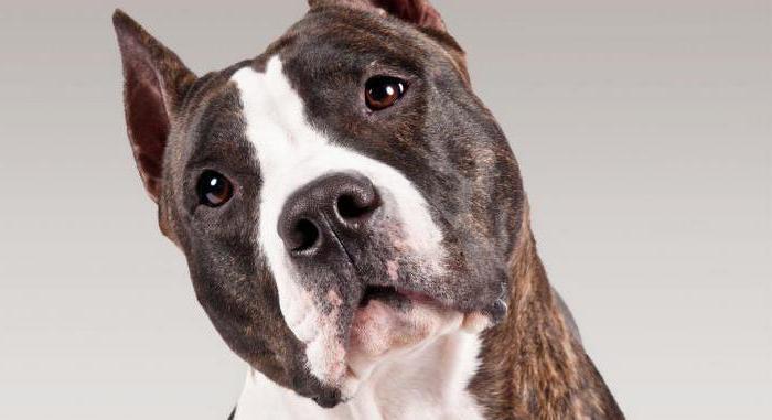 Собака стаффорд: описание породы, характер, особенности ухода и отзывы