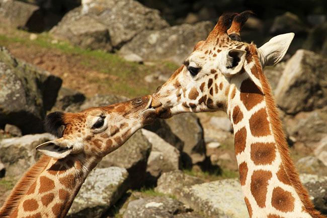 15 забавных фото целующихся животных