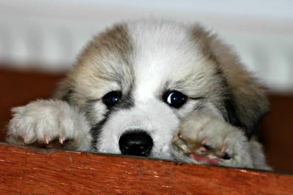 Горная пиренейская собака: описание породы, характер, дрессировка, отзывы