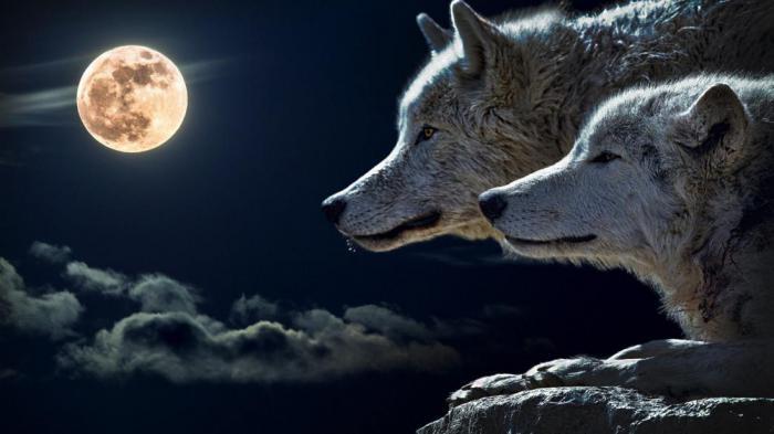 Вы уверены, что все знаете о волках?