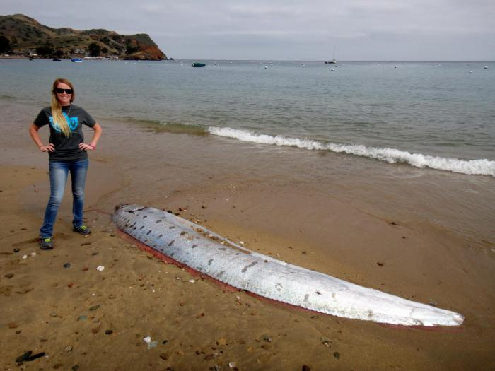 Неужели эти гигантские рыбы-ремни предупреждают о надвигающемся землетрясении?