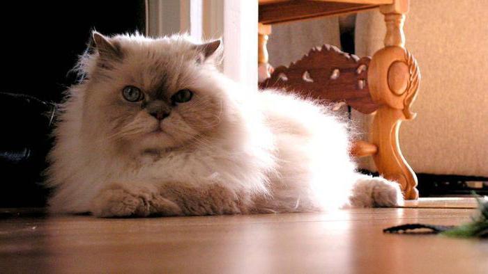 Самые пушистые кошки и их описание