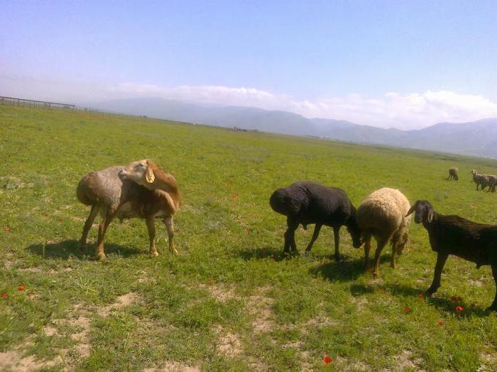 Гиссарская порода овец. Гиссарская порода: описание, продуктивность, разведение