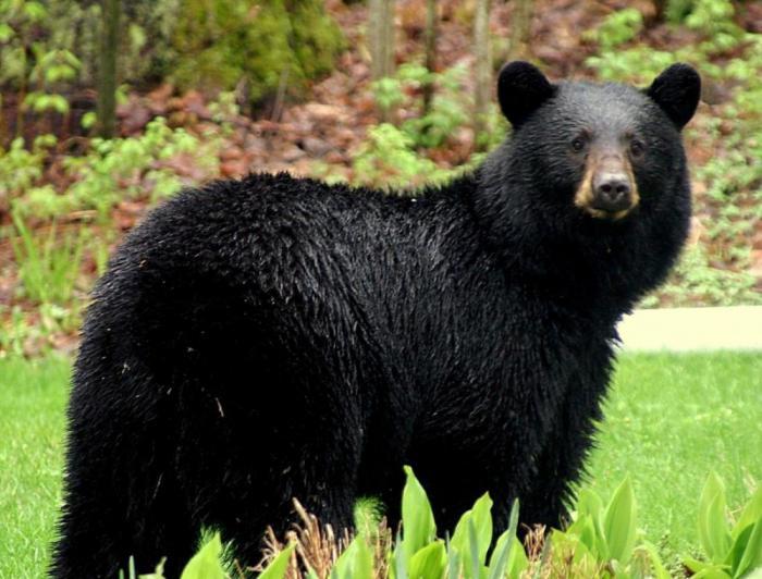 Ваш малыш не мог представить, на что способны черные медведи. Расскажите ему
