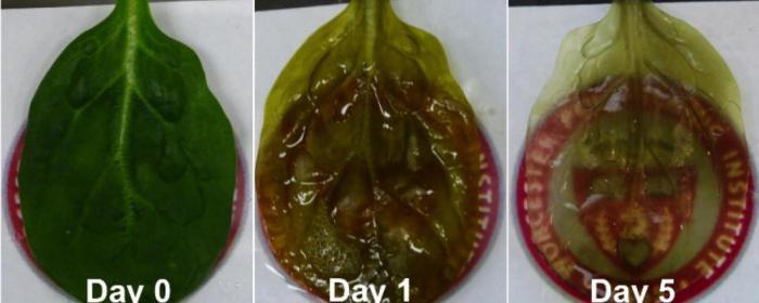 Ученые смогли вырастить человеческую сердечную ткань из листьев шпината