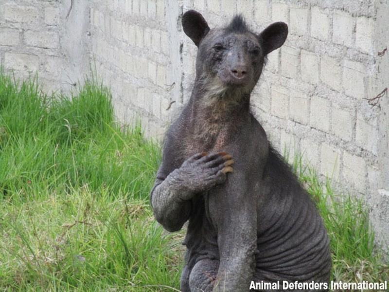 Трогательное спасение медведицы из-за стресса потерявшей почти всюшерсть