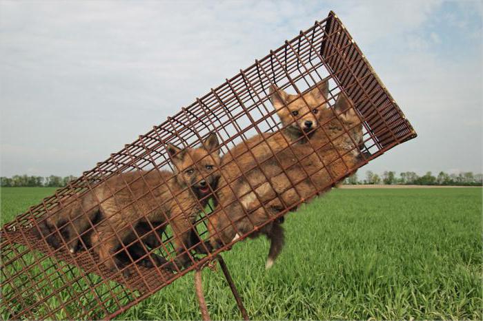 Как поймать лису? Особенности охоты на лис. Ловушка для лисы
