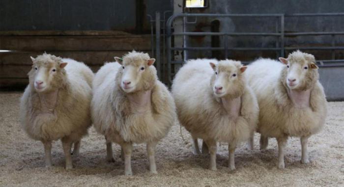 20 лет после появления Долли: что мы теперь знаем о клонировании?