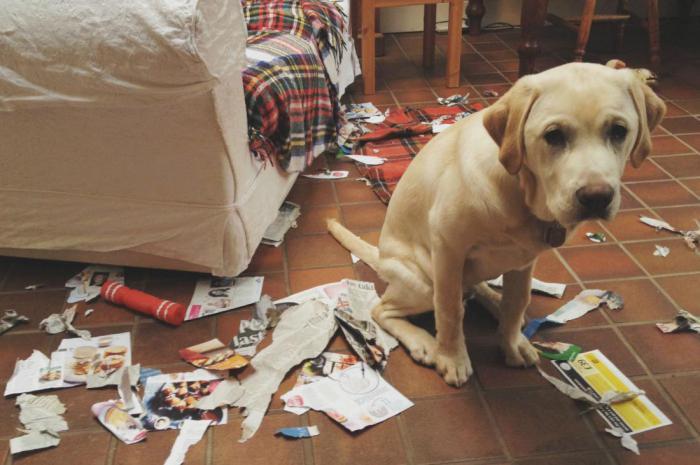Виноватый взгдяд собаки говорит скорее о страхе, чем о чувстве вины?