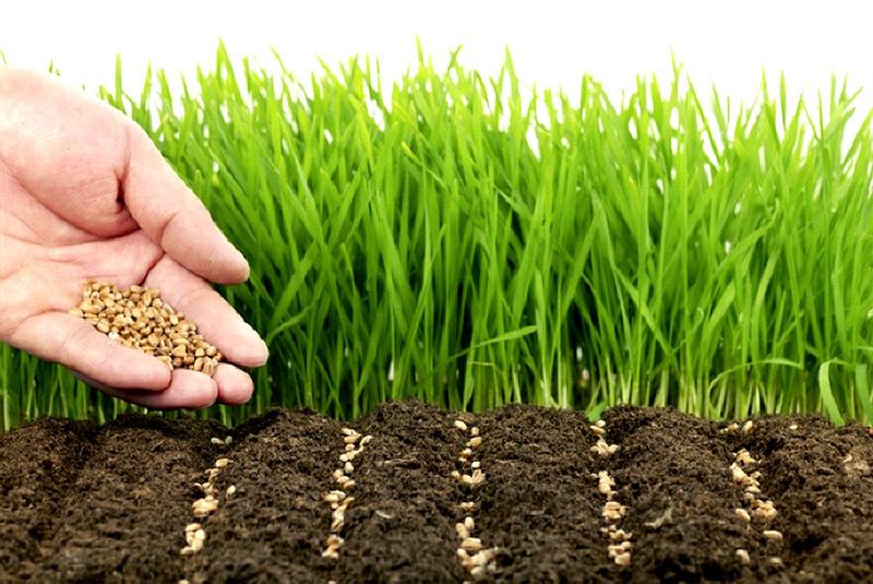 Хитрости посадки газона: как обеспечить всхожесть травы в сухой период