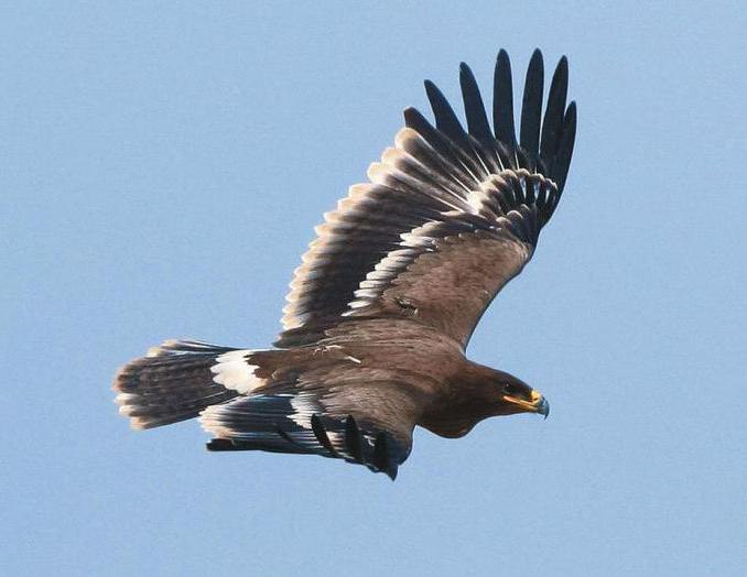 Сколько живет орел? Сколько лет живут степные орлы?