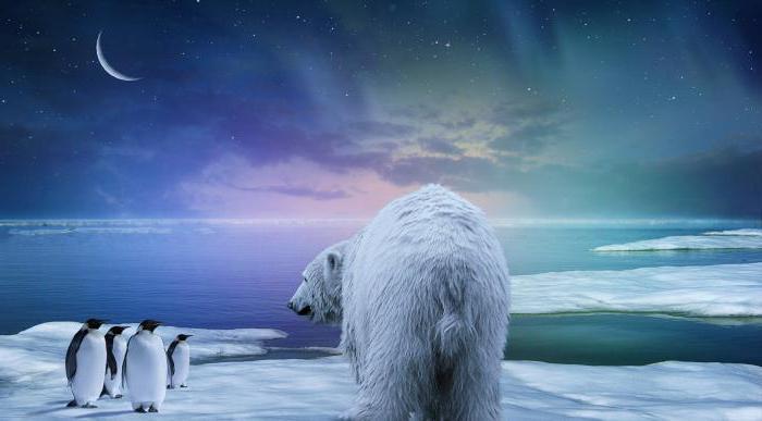Каков ответ на вопрос о том, почему белый медведь не ест пингвинов