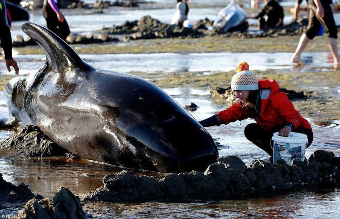 Волонтеры пытаются спасти сотни китов, которые выбросились на берег в Новой Зеландии
