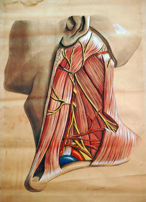 Мышцы. Виды мышц, классификация, их строение и функции. Анатомия мышц