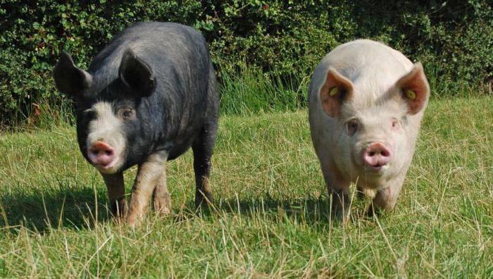 Продуктивный вес свиней. Живой вес - способ определения массы животного