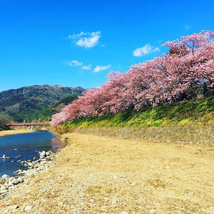 Весна на пороге: в Японии расцвела сакура
