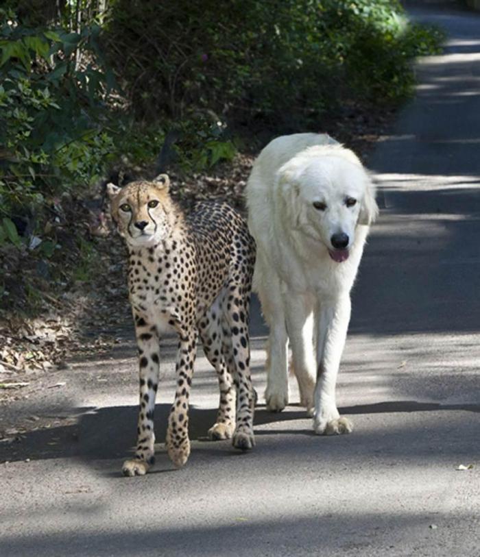 12 пород собак, которые заводят странную дружбу с другими животными