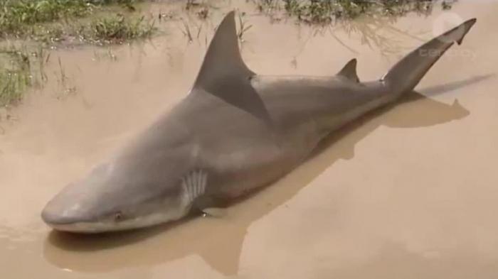 В Австралии посреди дороги была обнаружена бычья акула. Как она там оказалась?