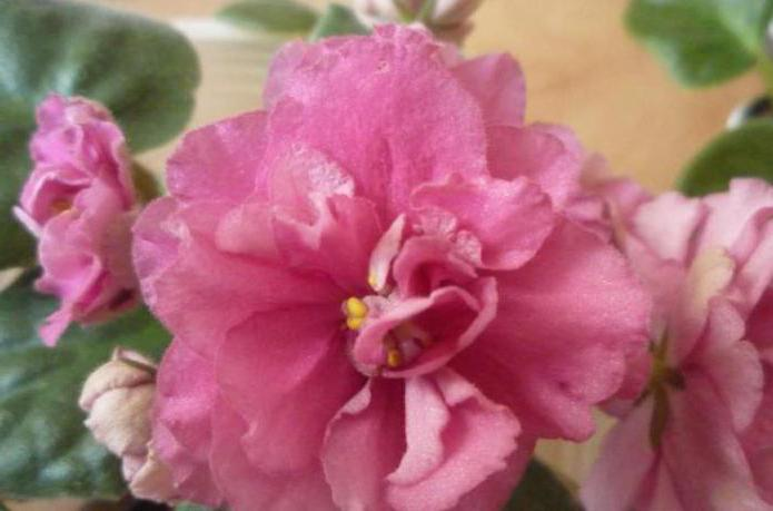 Сорт фиалок: названия, описание. Классификация сортов фиалок, особенности ухода, выращивание в домашних условиях