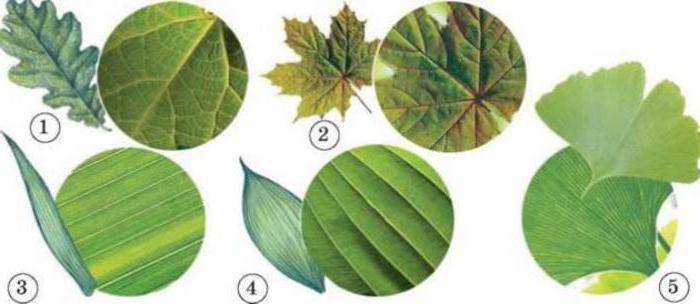 Жилкование листьев - витиеватый почерк растений