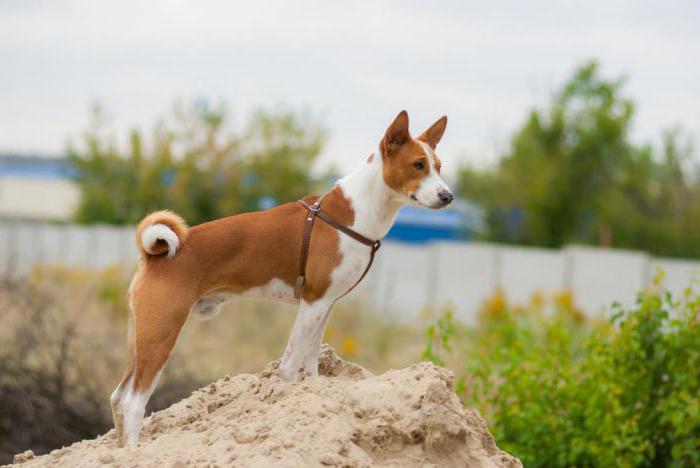 Басенджи   порода собак: описание, особенности характера и содержание. Африканская нелающая собака басенджи