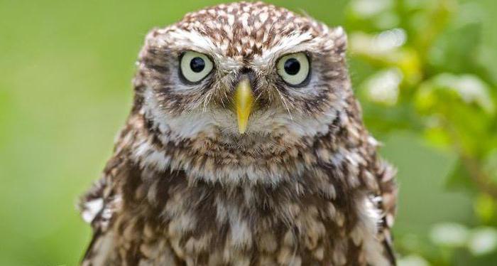 Сыч - это птица из семейства совиных: описание, образ жизни, ареал обитания