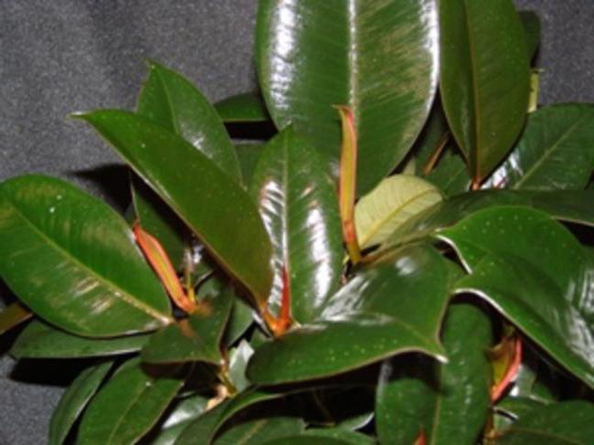 Фикусы эластика (фикус каучуконосный): уход в домашних условиях, размножение, болезни