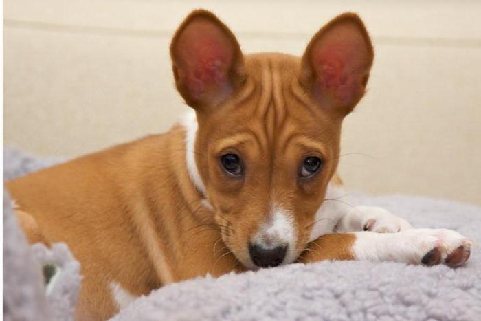 Басенджи - порода собак: описание, особенности характера и содержание. Африканская нелающая собака басенджи