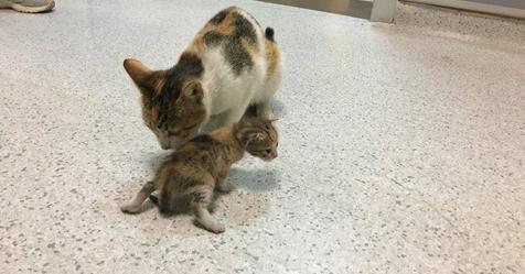 Мама кошка обратилась к человеческим врачам за помощью своему малышу, притащив его в больницу скорой помощи