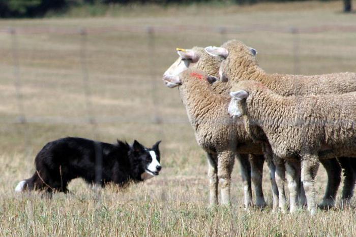 Породы собак пастушьи: названия, описания, характеристики