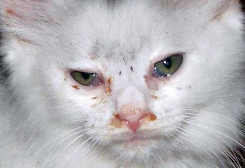 Конъюнктивит у кошки: лечение в домашних условиях
