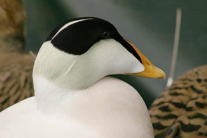 Обыкновенная гага, птица: описание, места обитания, питание