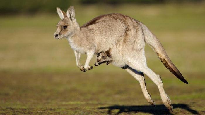 Роды кенгуру: интересные факты